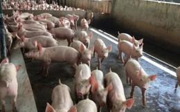 """Sau đợt tăng """"phi mã"""", giá lợn hơi có xu hướng giảm"""