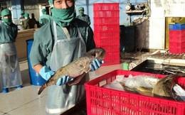 Doanh nghiệp đề nghị thu mua cá nóc xuất khẩu