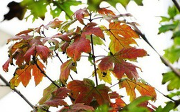 """Bất chấp kiểu thời tiết """"khó chiều"""" ở Hà Nội, hàng phong lá đỏ đổi màu đẹp lãng mạn"""