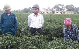 Người dân lo lắng vì giá ớt cay xuất khẩu chỉ bằng một nửa năm ngoái!