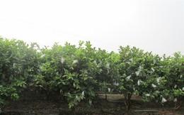 Ngỡ ngàng một xã thu 45 tỷ đồng từ trồng ổi