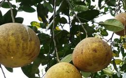 """Vườn bưởi """"tiến Vua' giúp nhiều nông dân thành tỷ phú"""