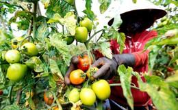 Thiệt hại hàng tỉ đồng vì mua giống cà chua rita giả