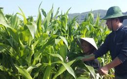 Công ty xuất khẩu bắp non An Giang từng bị nông dân kiện nhưng đã làm hòa và xuất khẩu thành công tới 6 châu lục bằng cách này!