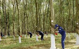 Tập đoàn cao su (GVR): Chỉ duy trì mảng cao su, ngược lại đẩy mạnh sáp nhập mảng gỗ và phát triển làm khu công nghiệp, tiếp tục hoàn thiện thủ tục niêm yết HoSE