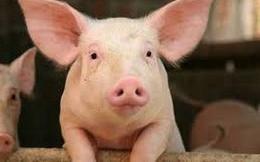 Ngành chăn nuôi lợn thắng lớn trong năm 2018