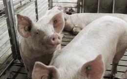 Chuyện lạ đời: Nông dân chăn lợn, nuôi gà là những người đại thắng ở Thung lũng Silicon của Trung Quốc