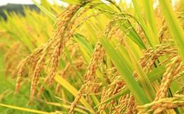Lúa gạo xuống giá, Thủ tướng yêu cầu mua sớm 200.000 tấn gạo dự trữ