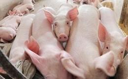 """Xôn xao thông tư """"cấm lợn ăn bèo, chuối"""": Bộ Nông nghiệp nói gì?"""
