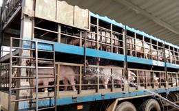 Đề nghị nâng mức hỗ trợ lợn bị dịch tả châu Phi ngang giá thị trường