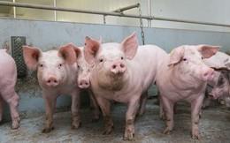 Dịch tả lợn châu Phi xuất hiện ở Lai Châu