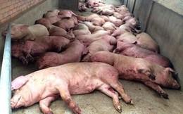 """Dịch tả lợn châu Phi """"đổ bộ"""", Thái Nguyên trở thành tỉnh thứ 10 nhiễm dịch"""