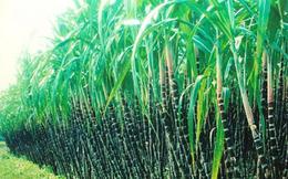 Thành Thành Công Biên Hòa (SBT) thông qua phương án phát hành 500 tỷ đồng trái phiếu không chuyển đổi