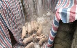 Dịch tả lợn Châu Phi: Đã tiêu hủy 1,2 triệu con lợn, dịch vẫn lan rộng