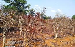 Tây Nguyên: Cà phê hạ giá, nông dân điêu đứng