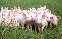 Giá lợn hơi tại Trung Quốc được dự báo vượt mức cao kỉ lục trong quý IV/ 2019