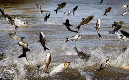 """Sau giai đoạn thăng hoa với cổ phiếu tăng gấp 3 năm 2018, thủy sản Nam Việt (ANV) đang """"đau đầu"""" bởi tỷ giá, thị trường cá tra đảo chiều mạnh"""