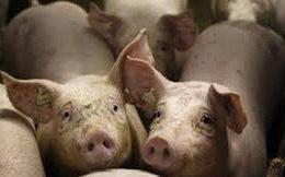 Giá thịt lợn hơi diễn biến trái chiều giữa 2 miền