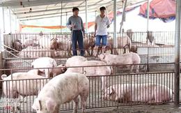 Người nuôi lợn phía Bắc bắt đầu có lãi
