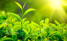 Hiểu về trà và 4 loại trà thảo dược đặc biệt tốt cho các quý ông
