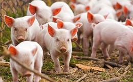 Bộ Nông nghiệp Hoa Kỳ chi 1,7 triệu USD hỗ trợ Việt Nam nghiên cứu chống tả lợn châu Phi