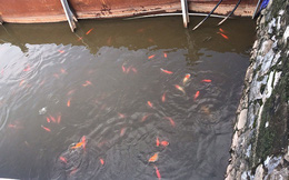 Cá Koi Nhật tung tăng bơi ở hồ Tây, trái ngược cá chết bên ngoài