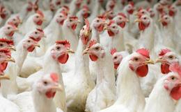 Gà bán rẻ như rau, thịt gà nhập khẩu vẫn ùn ùn đổ về