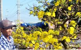 Mai vàng Nhơn An đắt khách, dự thu khoảng 30 tỷ đồng