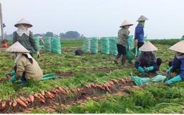 Những ngày cận Tết, giá cà rốt giảm 50% vẫn khó bán