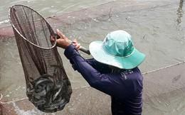 Cận Tết, cá kèo tăng giá mạnh, người nuôi lãi nửa tỉ/ha