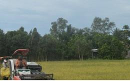 Lo doanh nghiệp bỏ tiền cọc, không thu mua lúa vì giá quá thấp