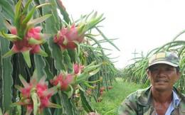 Nông dân Bình Thuận trúng lớn nhờ thanh long giữ giá cao