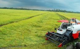 Nông dân miền Tây khóc ròng vì… giá lúa tăng