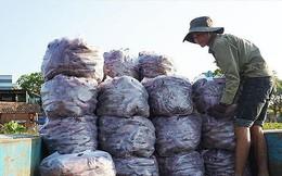 Nguy cơ bỏ thối hơn 600 ha khoai lang