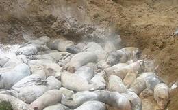 Dịch tả lợn châu Phi lây lan chóng mặt dù đã căng sức ngăn ngừa