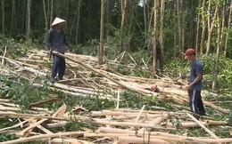 Gỗ nguyên liệu giấy tăng, người trồng rừng ồ ạt bán keo non