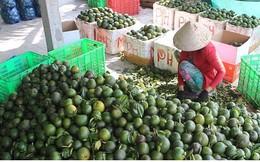 Giá cam sành trái vụ ở đồng bằng sông Cửu Long tiếp tục giảm mạnh