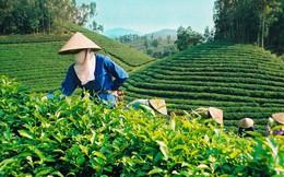 Xuất khẩu chè: Tái cơ cấu thị trường, hướng vào sản phẩm cao cấp