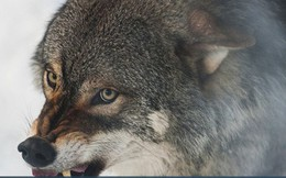 Bản lĩnh đàn ông phải như sói đầu đàn: Mạnh mẽ, quyết liệt khi đối đầu nhưng rộng lượng, ấm áp khi đối xử với gia đình