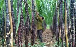 Nhiều nhà máy mía đường thua lỗ: Bộ trưởng khuyên nên trồng nấm