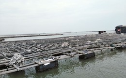 Quảng Ninh: Hàng trăm tấn hà nuôi chết bất thường, ngư dân xót lòng