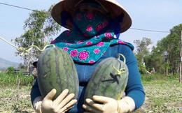 """Sau """"giải cứu"""", nông dân Quảng Ngãi lãi """"khủng"""" với dưa hấu"""