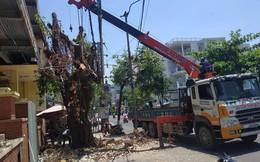 Nhóm người lạ triệt hạ cây cổ thụ ngay giữa trung tâm Đà Nẵng