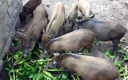 """VCCI đề xuất bỏ quy định """"lợn không được ăn chuối, bèo tây"""""""