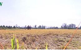 Hàng trăm ha lúa ở Thanh Hóa có nguy cơ mất trắng do nắng nóng