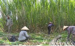 Vùng mía nguyên liệu giảm, nhà máy đường gặp khó
