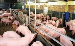 Tiêu huỷ đàn lợn 20.000 con: Họp bàn 1 quyết định chưa từng có