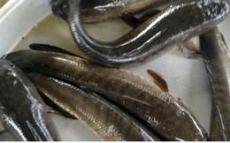 Thương lái tại Đồng Tháp tranh mua vảy cá lóc