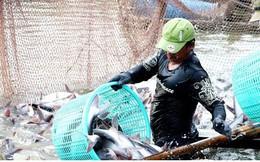 Giá cá tra nguyên liệu tại ĐBSCL giảm thấp nhất trong 10 năm qua