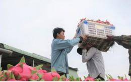 Bình Thuận: Thanh long chính vụ được giá